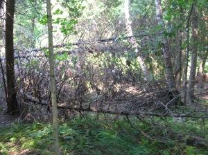 muralla de ramas para impedir la tala