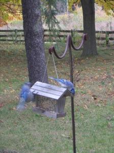 gravitación de azules picoteando la naturaleza sin ser todavía